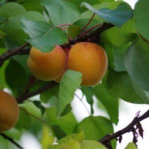 Confiture d'abricots-fleur d'oranger