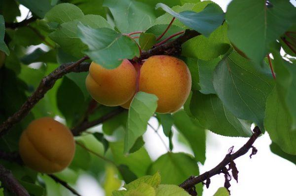 Les fruits sont cueillis à maturité pour dévoiler tous leurs arômes
